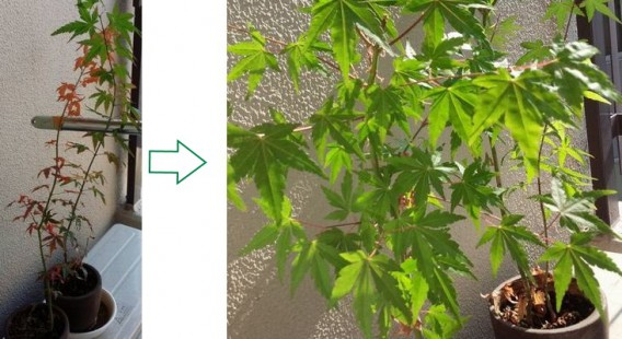 紅葉成長1 矢印